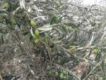 İzmir bergama zeytindağ satılık tekkerere tarafında köye  yola yakın